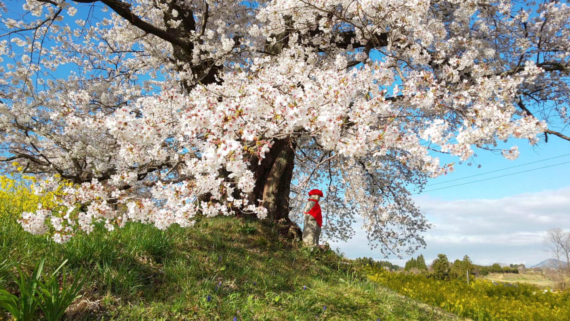 日向の人待ち地蔵桜