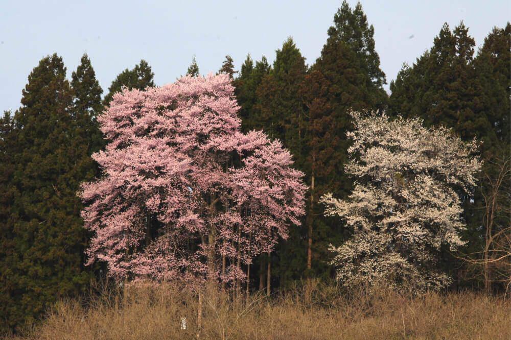 三渡神社の桜