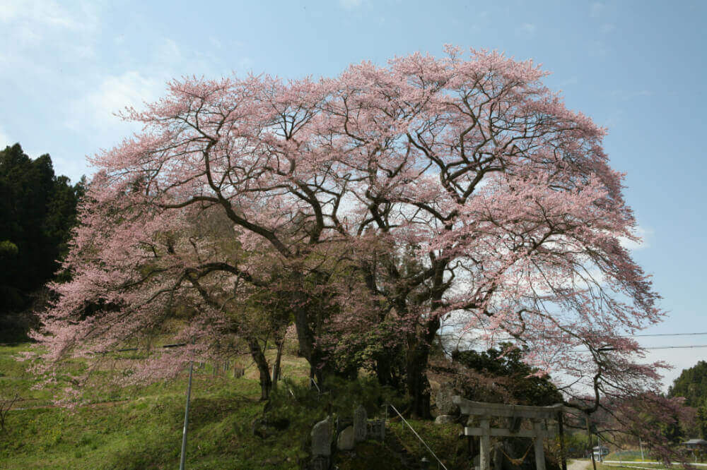 新殿神社の桜