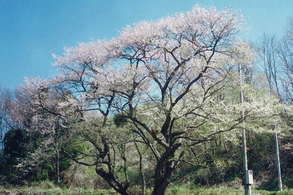 日山の種まき桜