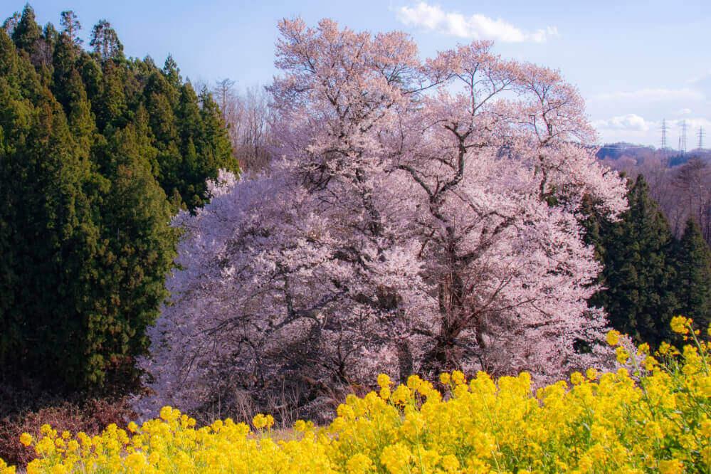 梅沢の山桜
