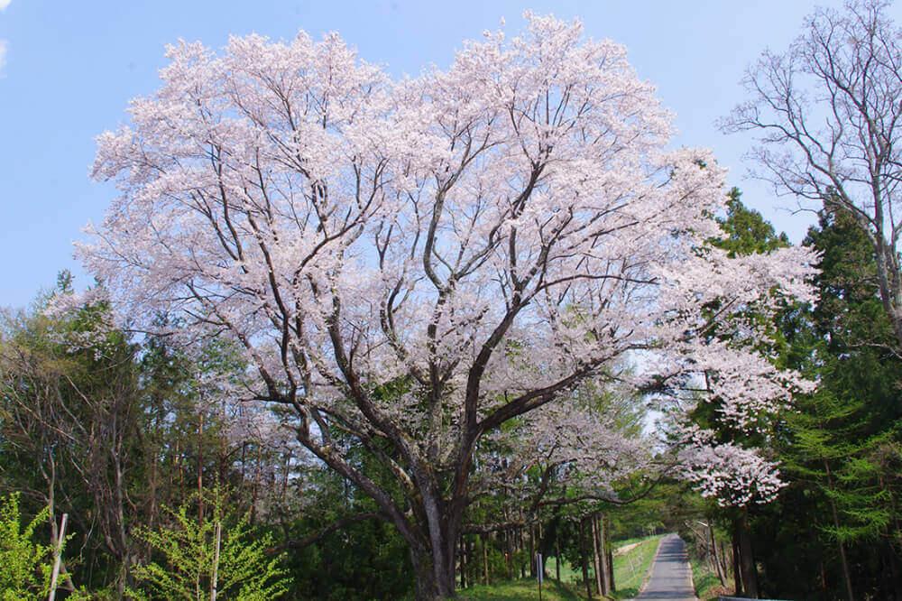 一本杉公園 山田の桜